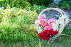 Freshly cut flowers in white basket in sunny garden Royalty Free Stock Photography