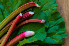 Freshly cut garden rhubarb on slug damaged rhubarb leaves against a wood background. Close up, copy space Stock Photography