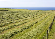 Freshly cut hay turned for drying on a lush meadow on a coastal farm Royalty Free Stock Images