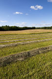 Cut Hay in Farm Field Stock Image