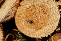 Freshly cut log Stock Images
