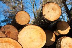 Freshly cut pine trees. Stack of freshly harvested pine logs Royalty Free Stock Image