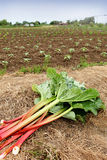 Freshly cut rhubarb. Allotment in the background Stock Image
