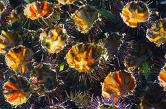 Freshly cut sea urchins at the fish monger. Stock Photo