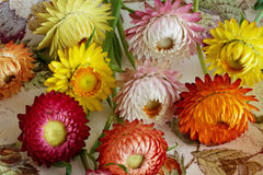 Freshly Cut Strawflowers. Closeup view of freshly cut strawflowers with different forms and colours stock images