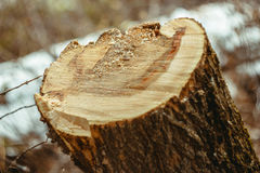 Freshly cut stump. Fresh cropped tree in the forest in autumn, a tree stump Royalty Free Stock Photos