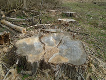 Freshly cut stump in nature Royalty Free Stock Image