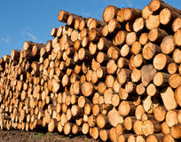 Freshly cut timber. Woodpile of freshly cut lumber awaiting distribution after seasoning for the forestry industry Royalty Free Stock Photos