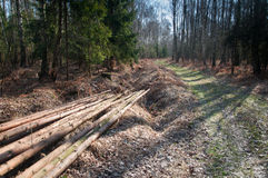 Freshly cut tree logs Royalty Free Stock Image