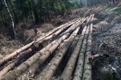 Freshly cut tree logs Royalty Free Stock Images