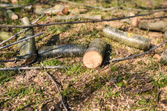 Freshly cut tree logs in a forest, deforestation Stock Image