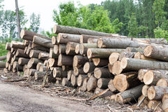 Freshly cut tree logs Stock Image