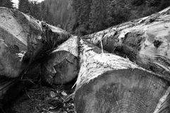 Freshly cut tree trunks near a forest road Royalty Free Stock Image