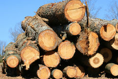 Freshly Cut Trees. Stacked freshly cut trees ready to be hauled away Stock Photo