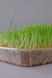 Freshly cut wheatgrass with focus on the first row of grass. Second growth or regrown is not nearly as nutritious and is more likely to have mold. The growing Royalty Free Stock Images