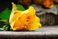 Freshly cut yellow rose Royalty Free Stock Photos