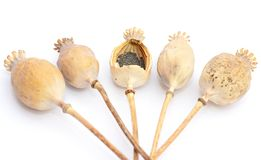 Freshly Dried Long Stem Poppy Pods Dried papaver poppy heads with pile of poppy seeds isolated on white. Freshly Dried Long Stem Poppy Pods Dried papaver poppy royalty free stock images