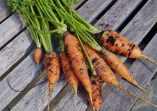 Freshly dug carrots. With soil and fronds still attached stock images