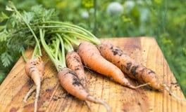 Freshly dug carrots Royalty Free Stock Photo