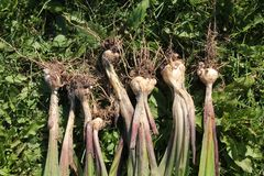 Freshly dug Gladiolus murielae or Acidanthera corms with roots. And small bulbs Stock Photos