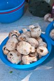 Freshly dug, local white mushrooms for sale. Top view, close distance of a blue, plastic bowl of freshly dug, local, white mushrooms on display and for sale at a stock image