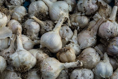 Freshly dug mass of garlic. Summer harvest. stock photo