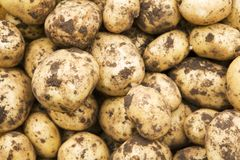 Freshly-dug new potatoes. Crop of freshly-dug new potatoes royalty free stock photos
