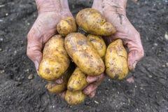 Freshly dug new potatoes Stock Images