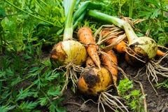 Freshly dug onion bulbs and carrots on the ground stock photography