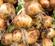 Freshly dug onion bulbs. Allium cepa. Close up royalty free stock image
