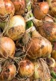 Freshly dug onion bulbs stock photos