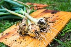 Freshly dug onion bulbs stock images