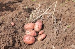 Freshly dug organic potatoes on the field Royalty Free Stock Photo