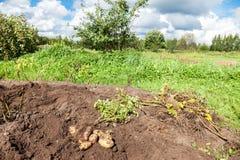Freshly dug organic potatoes on the field Royalty Free Stock Photos