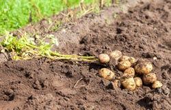 Freshly dug organic potatoes on the field Stock Photo