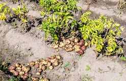 Freshly dug organic potatoes of new harvest. At the potatoes plantation. Potato harvest on the field stock photography