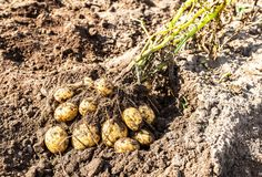 Freshly dug organic potatoes of new harvest. At the potatoes plantation. Potato harvest on the field stock images