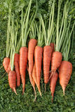 Freshly dug out carrots Royalty Free Stock Image