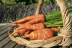 Freshly dug out carrots Stock Photo