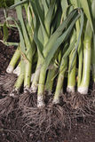 Freshly dug out leeks Royalty Free Stock Photo
