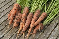 Freshly dug out organic carrots on garden table Stock Photos