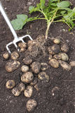 Freshly dug out potatoes and plant. Freshly dug out potatoes on soil royalty free stock images