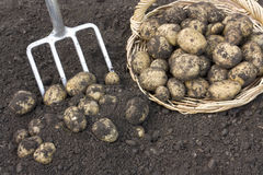 Freshly dug potatoes. On the ground stock photos