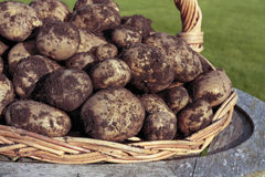 Freshly dug potatoes Royalty Free Stock Image