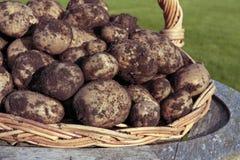 Freshly dug potatoes royalty free stock image