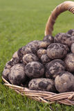 Freshly dug potatoes Royalty Free Stock Photos