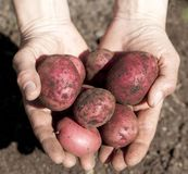 Freshly Dug Potatoes Royalty Free Stock Photography