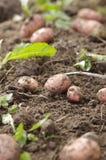 Freshly dug potatoes Stock Photography
