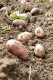 Freshly dug potatoes Royalty Free Stock Images