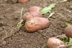 Freshly dug potatoes Royalty Free Stock Images
